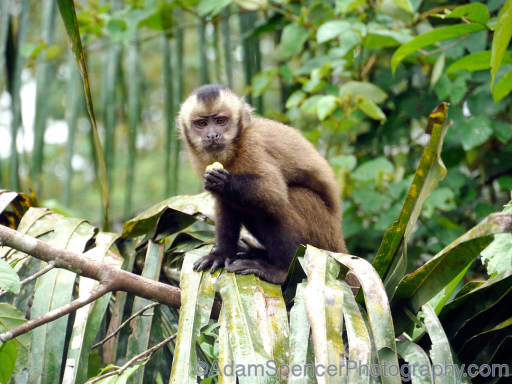 Now mad, Brown tufted capuchin, Peru